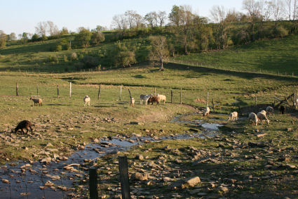 Pasture raised lamb and goat in central New York.